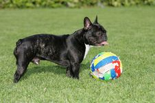 French Bulldog With Ball Stock Photo