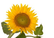 Free Sunflower, Helianthus Annuus Royalty Free Stock Image - 14990206