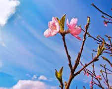 Free Peach Bloom Royalty Free Stock Photography - 14990307