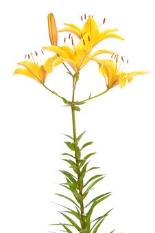 Free Yellow Lilies. Royalty Free Stock Images - 14990929