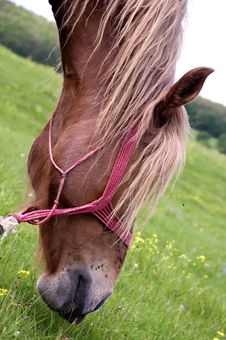 Free Head Of A Horse Eating Grass Royalty Free Stock Images - 14992819