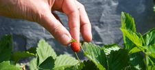 Free Picking Strawberries Royalty Free Stock Photo - 14993275