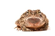 Free Toad Stock Photos - 14994433