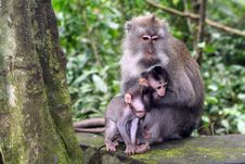Free Macaque With Her Babys Royalty Free Stock Photo - 14994655