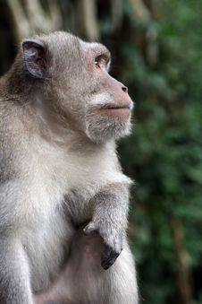 Free Macaque Royalty Free Stock Photos - 14994698