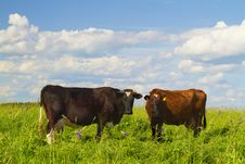 Free Cows In The Meadow Royalty Free Stock Photo - 14994815
