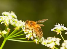 Free Bee On A Flower Royalty Free Stock Photography - 14994817