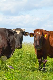 Free Cows In The Meadow Royalty Free Stock Photography - 14994827