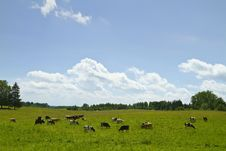 Free Cows In The Meadow Royalty Free Stock Photo - 14994835