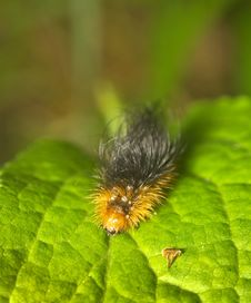 Free Caterpillar On Green Leaf Stock Photo - 14994920