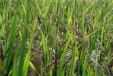 Free Rice Padi Royalty Free Stock Photo - 14995165
