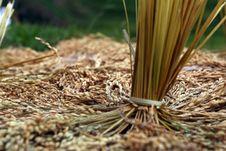 Free Rice Padi Royalty Free Stock Photography - 14995207