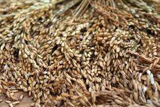 Free Rice Padi Stock Image - 14995221