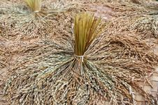 Free Rice Padi Royalty Free Stock Images - 14995249