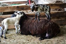 Free Lambs Playing Stock Image - 14995271