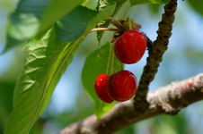 Free Cherries Royalty Free Stock Images - 14995559