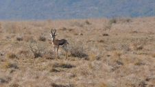 Free Springbok Royalty Free Stock Image - 14995796