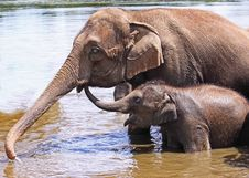 Free Mother And Baby Elephant Royalty Free Stock Photos - 14995838