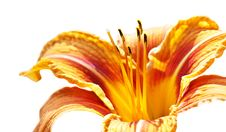 Free Lily Royalty Free Stock Photo - 14996255