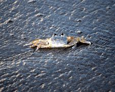 Free Blue Crab Hitching A Ride On A Wave Stock Photo - 14996420