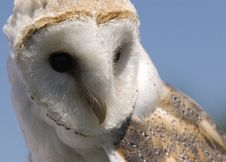 Free European Barn Owl Stock Photos - 14997153