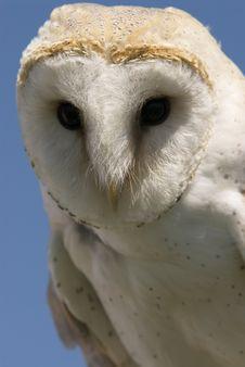 European Barn Owl Royalty Free Stock Image