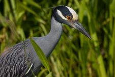 Free Yellow Crowned Night Heron Royalty Free Stock Photography - 14997487