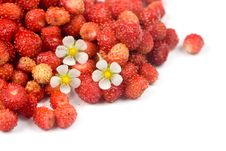 Free Wild Strawberry Royalty Free Stock Photography - 14997827