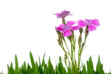 Free Carnation And Green Grass Stock Images - 14997874