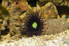 Free Tube Anemone In Aquarium Royalty Free Stock Photo - 14998445