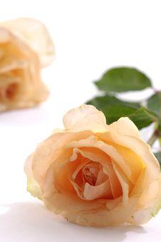 Free Rose Stock Photos - 14999093