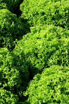 Frisee Salad Royalty Free Stock Image