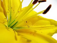 Free Yellow Lilies Royalty Free Stock Photography - 14999637