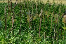 Pole Beans In The Garden Stock Photography