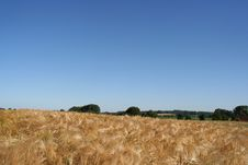 Free Wheat Field Royalty Free Stock Image - 150266