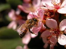 Free Bee On Pink Flowers Stock Image - 150711
