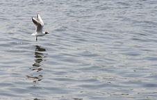 Landing Gull Royalty Free Stock Photos