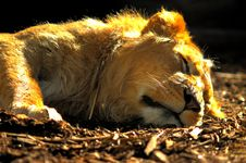 Free Sleeping Lion Stock Image - 154341