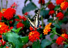Free Butterfly Stock Image - 155571