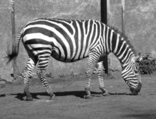 Free Zebra B/w Royalty Free Stock Photos - 155818