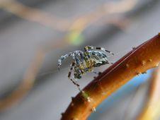 Free Spider Royalty Free Stock Photos - 155898