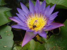 Free Bee And Purple Lotus Stock Photo - 156120