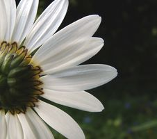 Free Ox-eye Daisy 2 Royalty Free Stock Images - 156209