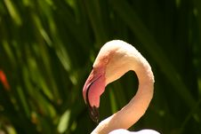 Free Flamingo Royalty Free Stock Photos - 157118