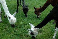 Free Four Llamas Stock Photos - 158503