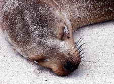 Free Sea Lion Royalty Free Stock Photos - 158678