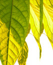 Free Green Leaves Royalty Free Stock Photo - 1502125