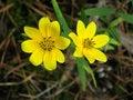 Free Yellow Daisy Stock Photos - 1502693
