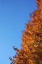 Free Fall Colors On A Bradford Pear Tree Royalty Free Stock Photo - 1503375
