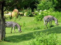 Free Zebras Feeding Royalty Free Stock Photos - 1506278